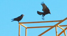 After Construction Workers Leave for the Day, a Pair of Crows Takes Over the Crane.