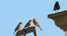 Three House Finches Enjoying the March Sun White a Crow on an Adjoining Building Stands Watch.