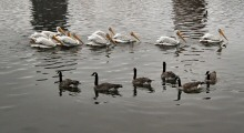 American White Pelicans and Canada Geese at Lake Merritt, Oakland, CA