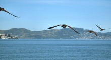 Canada Geese from Treasure Island in Flight over San Francisco Bay Heading Toward the Marin Headlands (Alcatraz to the Left)