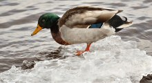 A Duluth, MN Mallard in January