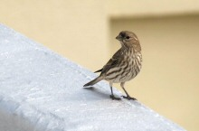 A female House Finch perched on a roof in City Birds Country, the Heart of San Francisco