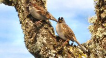 House Sparrow and White-crowned Sparrow at Fort Mason Public Gardens, San Francisco