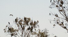 Cormorants nesting at Lake Merritt, Oakland, CA  -- taken on July 4, 2012