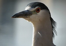 Portrait of a Heron at Lake Merritt, Oakland, CA