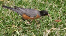An American Robin Foraging Early in the Morning at Lake Merritt, Oakland, CA