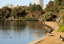 Canada Geese enjoy the morning sun while American Coots, Mallards and other birds glide fish and relax on beautiful Lake Merritt, Oakland, CA
