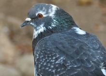 Pigeons, such as this beauty, live the good life at Lake Merritt, Oakland, CA