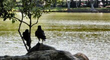 A Pair of Jungle Crows Hanging Out in a Downtown Bangkok Park