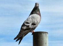 A Pigeon of City Birds Country, the Heart of San Francisco, where life for Pigeons isn't easy.