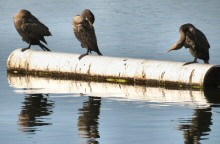 Snoozing, grooming and scratching; October finds these juvenile Cormorants enjoying the morning at Lake Merritt, Oakland, CA.  In a year those brown feathers will be replaced with black feathers.