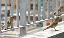 Three House Finches exploring the concrete jungle of City Birds Country, the Heart of San Francisco