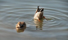 A Pair of Mallards are seen fishing at Lake Merritt, Oakland, CA