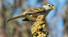White-crowned Sparrow at Fort Mason Public Gardens, San Francisco