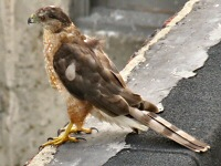 The Sharp-shinned Hawk is easy to distinguish from the larger Coopers Hawk by the squared off tail.